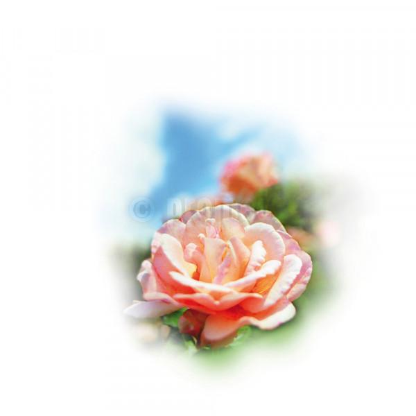 Aroma-Essenz Rose